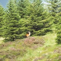 Stag hiding...not very well!